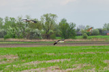 Stork family arriving to rural area for summer season