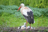 stork with chicks in the nest