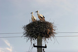 Pair of storks in the nest. 2 stork