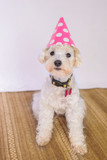 Poodle dog wearing a birthday hat