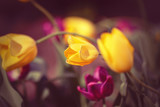Beautiful fairy dreamy magic yellow tulip flowers with colorful bokeh toned with instagram filters in retro vintage color, soft selective focus, shallow depth of field, blurry background