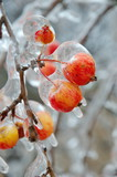 Apples covered with ice after freezing rain closeup