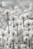 Flowering Cotton Grass