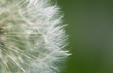 Fluffy dandelion, close-up