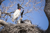 Close-up Jabiru Stork and Chicks in Nest
