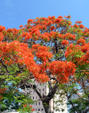 Havana, Cuba: Royal Poinciana Tree (Flamboyán)