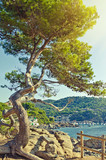 Big green pine tree on the seaside cliff. Summer landscape. Cost