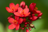 Spicy Jatropha - Macro image of a clump of bright red blossoms on a Jatropha bush.