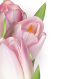 Pink tulips on white. EPS 10