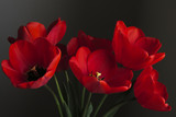 Red tulip isolated against a dark background