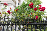 red rose bushes at a fence