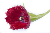 red tulip with blue heart and cartels