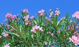Oleander plant with beautiful colored flowers in the Mediterranean country