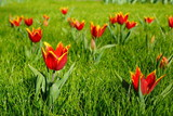 Small red tulips in the spring