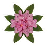 Pink plumeria flower decorated on white background
