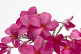 plumeria flowers pink color wall nature background tropical