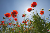 Looking up at red poppies in spring field in Southern Spain