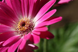 pink and white gerbera close up #2