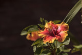 Sunset Hibiscus flower with detailed stamen and pistil in a Hawaiian garden in spring