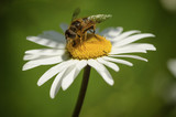 Camomile with bee