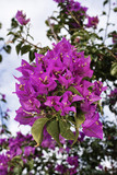 Italy, Sicily, countryside, purple bougainvilleas in a garden