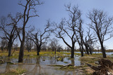 Dead trees in the Okavango delta Botswana