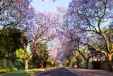 Early morning street scene of jacaranda trees in bloom