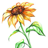 Watercolor yellow sunflower flower single isolated