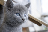 kitten with a smoky color and blue eyes outdoors against the bac