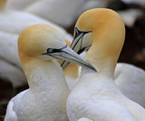 Northern Gannet Bonding behavior - Bonaventure Island, Perce Rock, Quebec, Canada