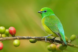 Blue-naped Chlorophonia, Chlorophonia cyanea, exotic tropic green song bird form Colombia