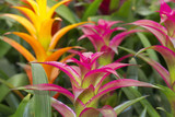 colored bromeliads flowers