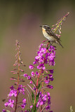 Whinchat sitting on a willowherb