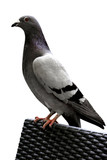 Grey Pigeon - White Background