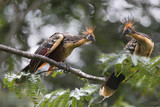 Hoatzin birds in the amazon ecosystem