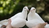 White pigeons in hands
