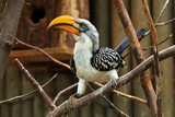 Eastern yellow-billed hornbill (Tockus flavirostris).