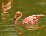 Flamingo swimming
