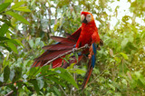 Parrot Macaw - Ara ararauna in the rainforest