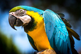 Blue-and-yellow macaw (Ara-ararauna)
