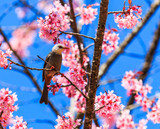 Cherry Blossom or Sakura with White-headed Bulbul