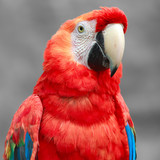 Ara Macaw Close Up