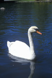 Swan in lake, Sun Valley, Id