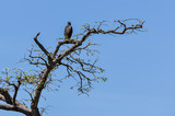 Black eagle in the Amazon Rainforest, Brazil
