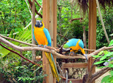 Pair of colorful Parrots. Jamaica
