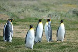 King penguins on the Bay of Inutil.