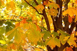 Autumn leaves of horse chestnut