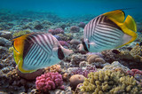 Threadfin butterflyfish (Chaetodon auriga) and coral reef, Red S