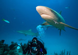 Diver with underwater photo equipment and caribbean reef shark