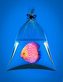 Discus fish in plastic bag on blue background